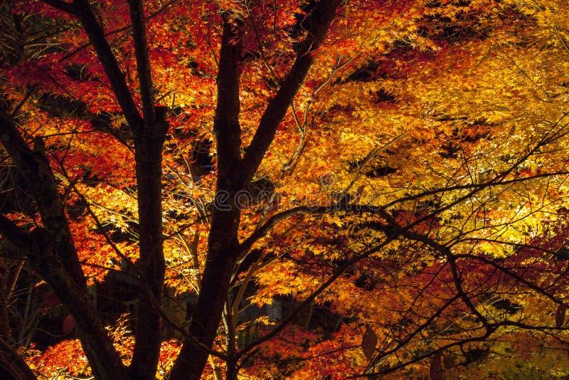 Japanese Maple at night in autumn stock photo