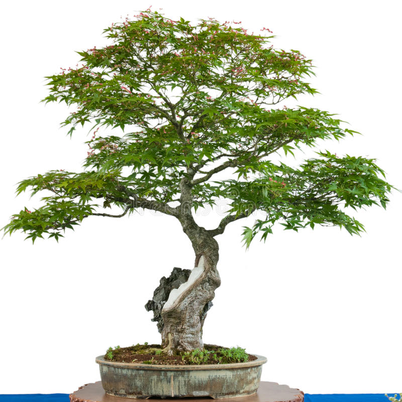 Japanese maple tree (Acer palmatum) as bonsai. In a pot stock photography