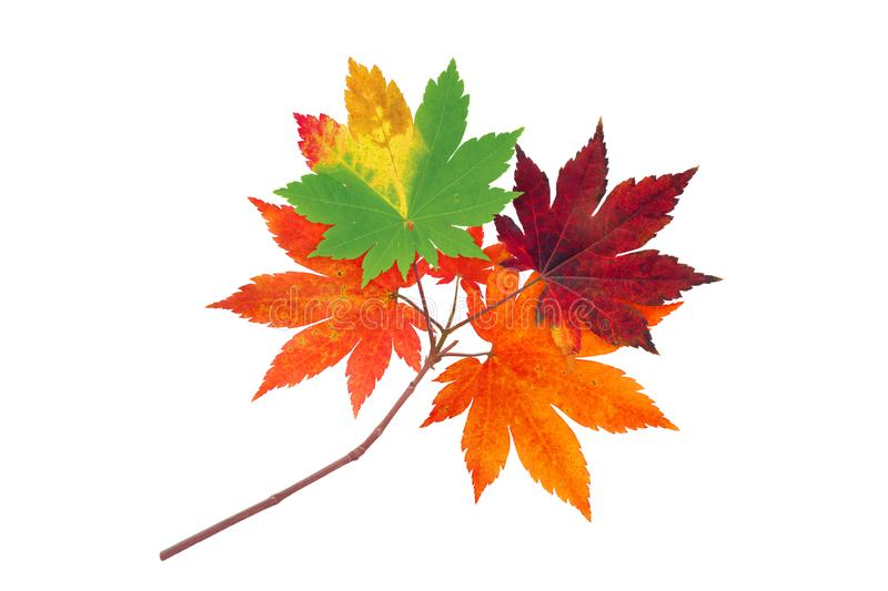 Japanese maple tree colorful autumn branch isolated on white royalty free stock photos