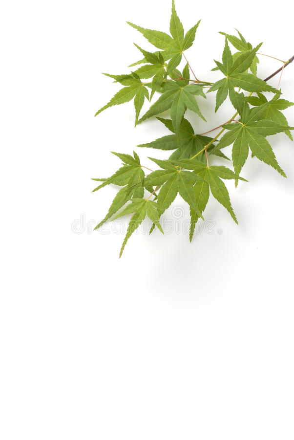Japanese maple tree leaves