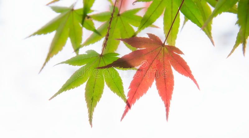 Japanese maple tree leaves illuminated by sunlight on white background stock photography