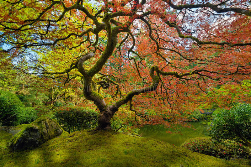 The Japanese Maple Tree in Spring royalty free stock image