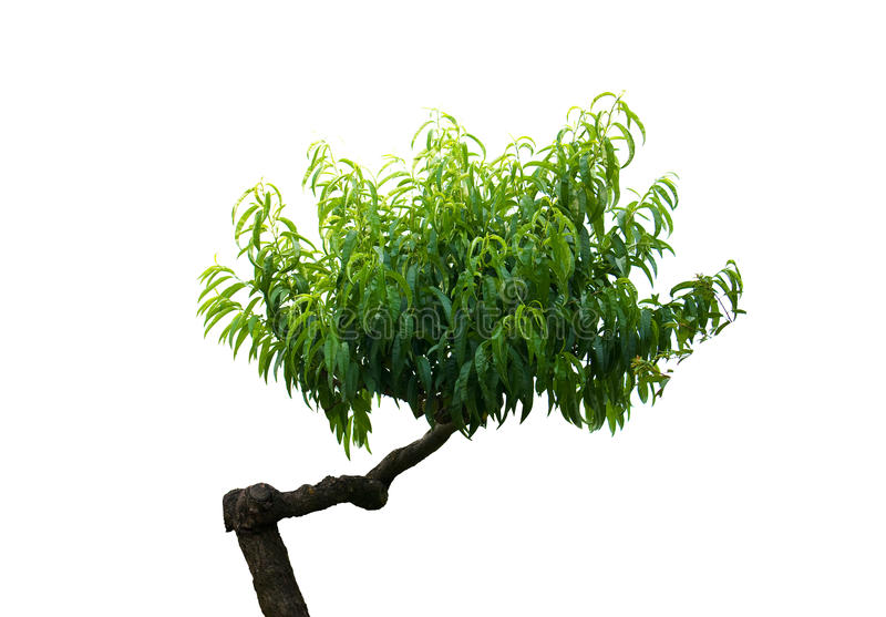 Japanese miniature bonsai tree stock photo