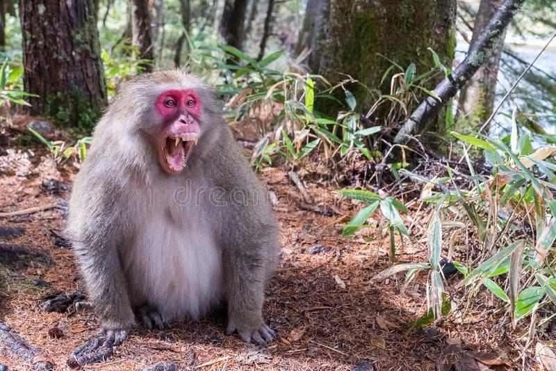 Japanese monkey in forest get angry emotional,open mouth with sharp teeth, his face in red color stand or sit on the floor ready f. Or movement, Money in bamboo stock image