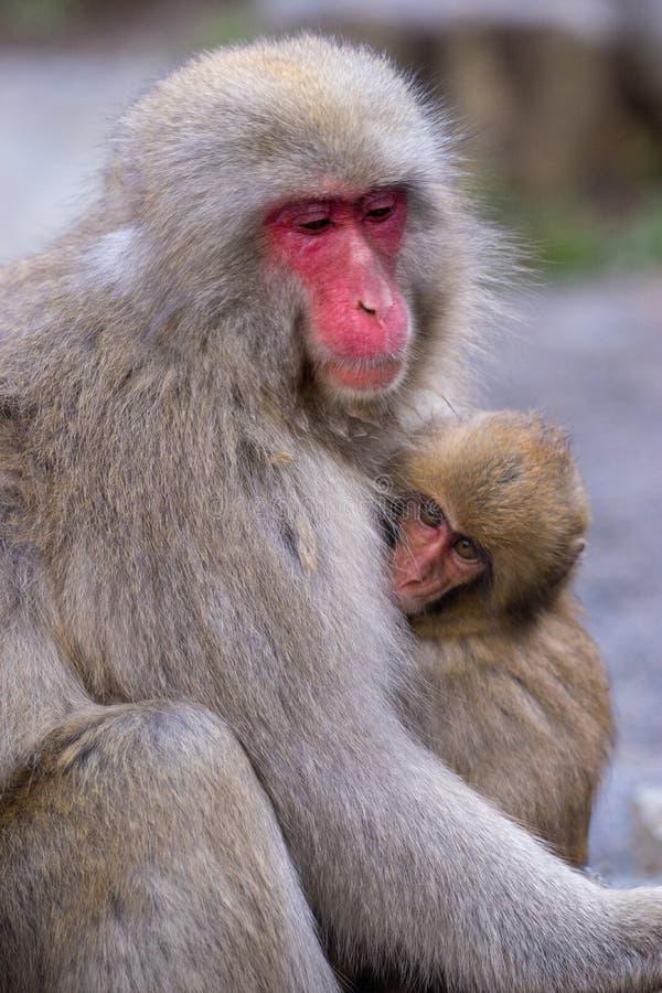Japanese Monkey Mother holding children. In Jigokudani park, Japan royalty free stock image