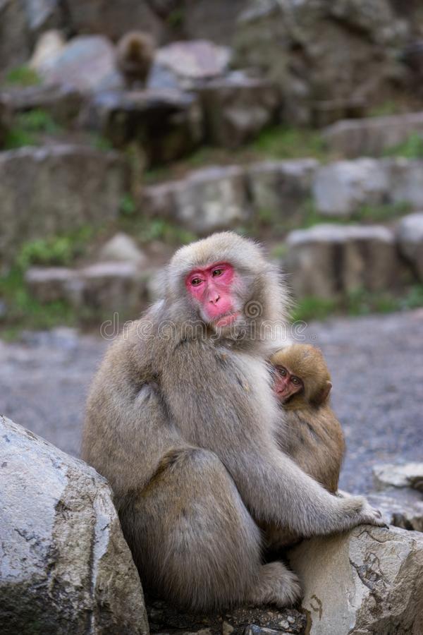 A japanese monkey mother holding her baby in chest. At Jigokudani park, Japan stock photo