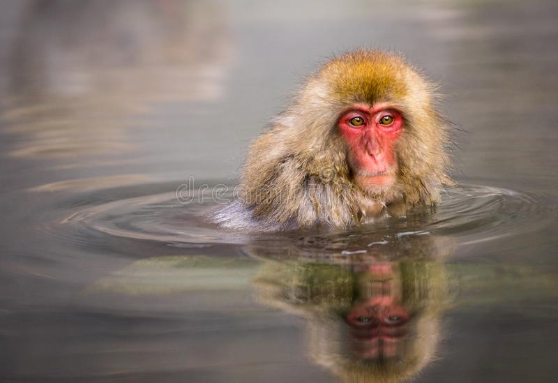 A Japanese monkey in Onsen with water reflection. At Jigokudani park, Japan royalty free stock photos