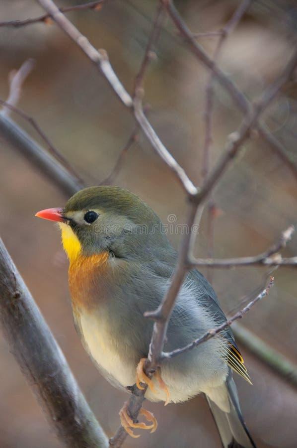 Japanese Nightingale. A Japanese Nightingale on a twig royalty free stock photos