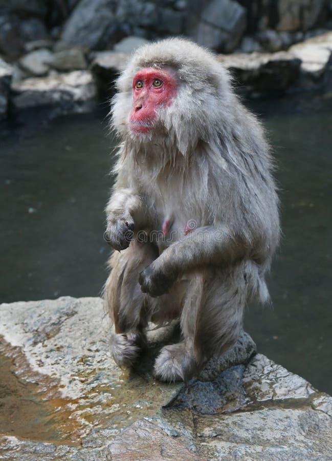 Japanese Onsen Monkey in Nagano royalty free stock image