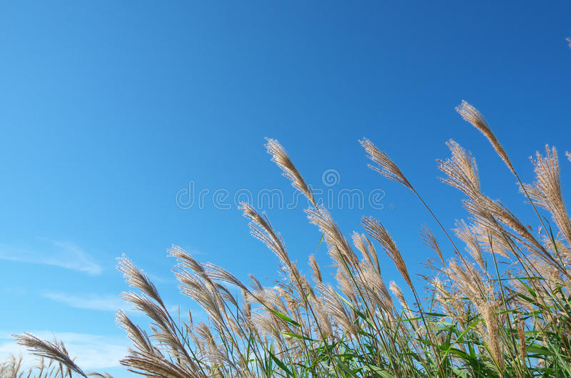 Download Japanese pampas grass stock image. Image of space, copy - 26518031