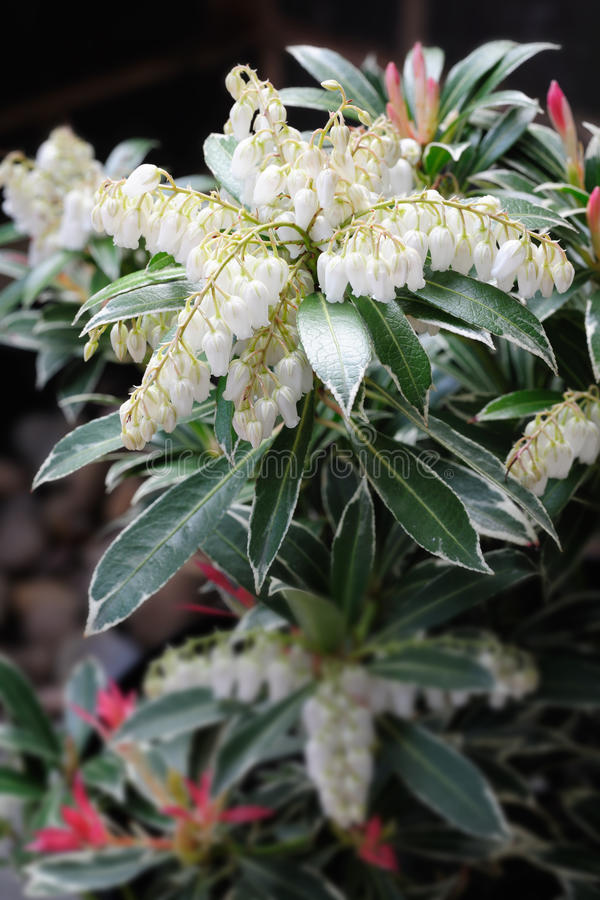 Japanese Pieris - lily of the valley shrub. Close up of Japanese Pieris: pieris japonica or havila (cultivar flaming sliver) also known as lily of the valley royalty free stock photo