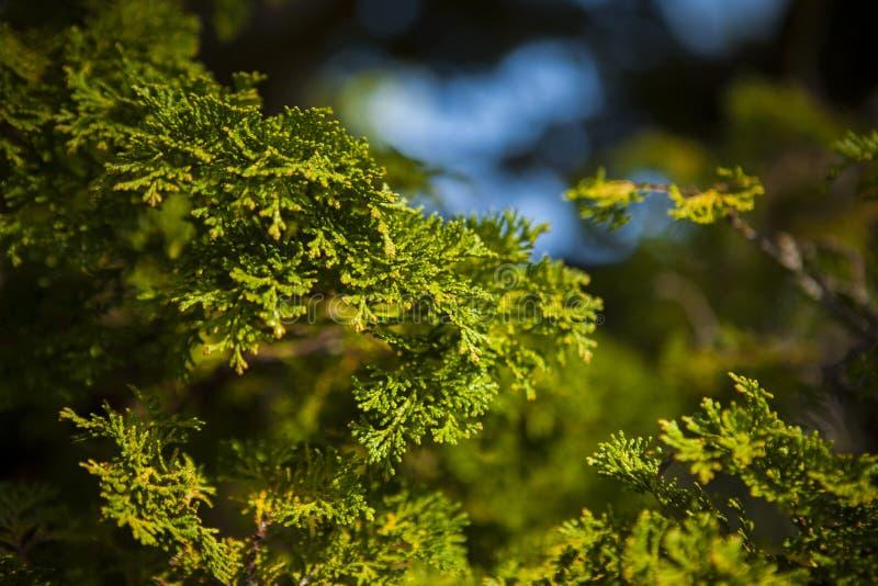 Japanese plant in garden. royalty free stock photos