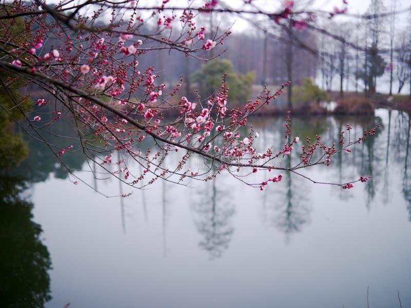 Download Japanese plum blossom stock photo. Image of winter, plum - 29462816