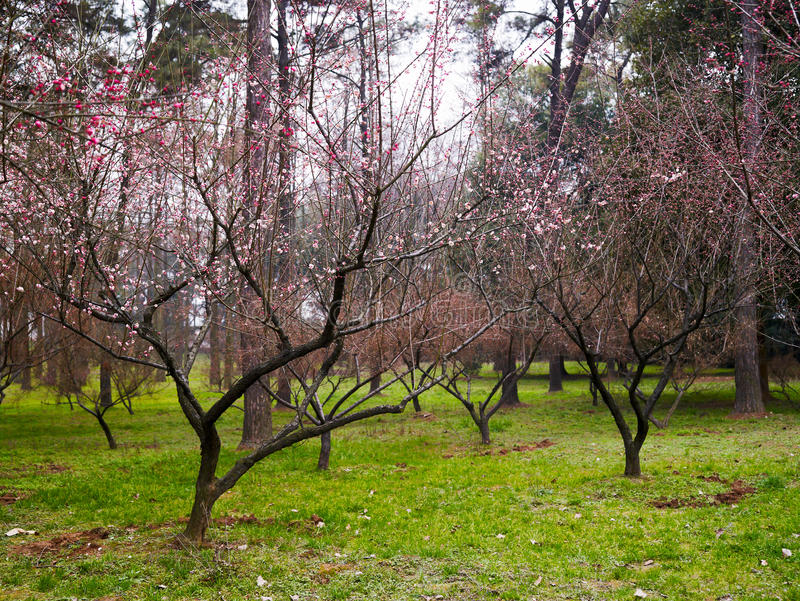 Download Japanese plum blossom stock image. Image of pond, temple - 29463453
