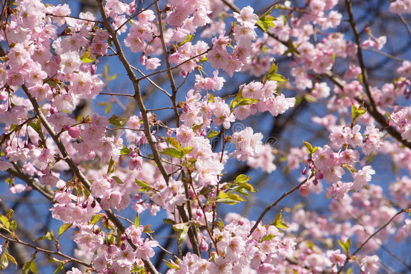 Japanese plum blossoms and blue sky background royalty free stock photography