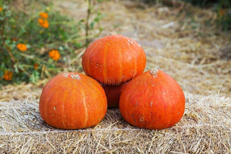 Japanese pumpkin orange royalty free stock photo