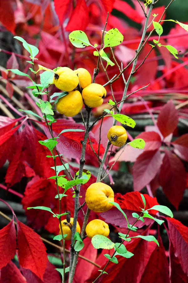 Japanese quince royalty free stock photos
