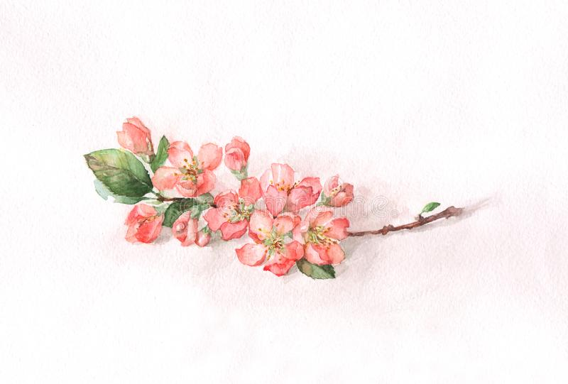 Japanese quince blossoms. The watercolor painting of a Japanese quince branch in bloom