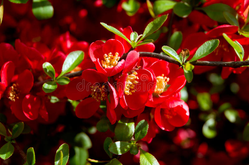 Japanese Quince (Chaenomeles japonica). The Japanese Quince (Chaenomeles japonica) flower filled foams stock photography