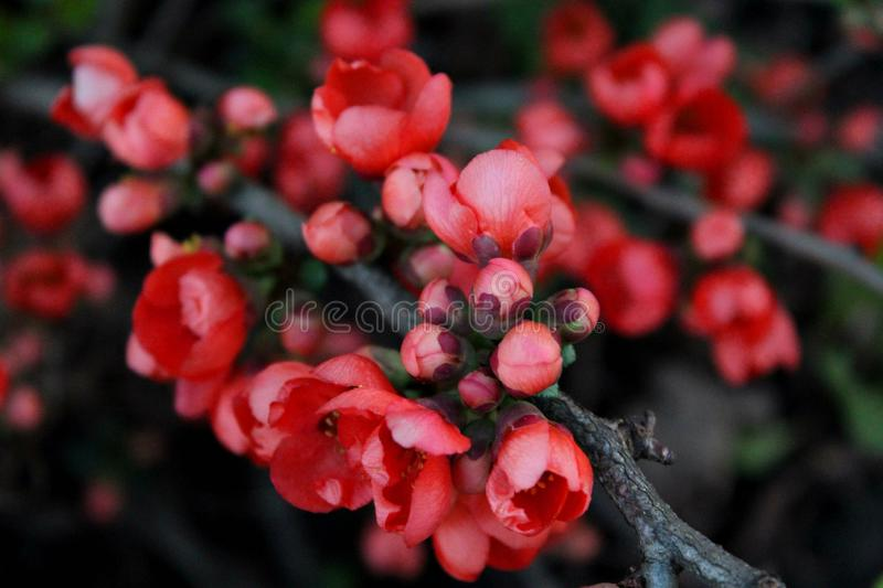 Japanese Quince Chaenomeles japonica stock photo