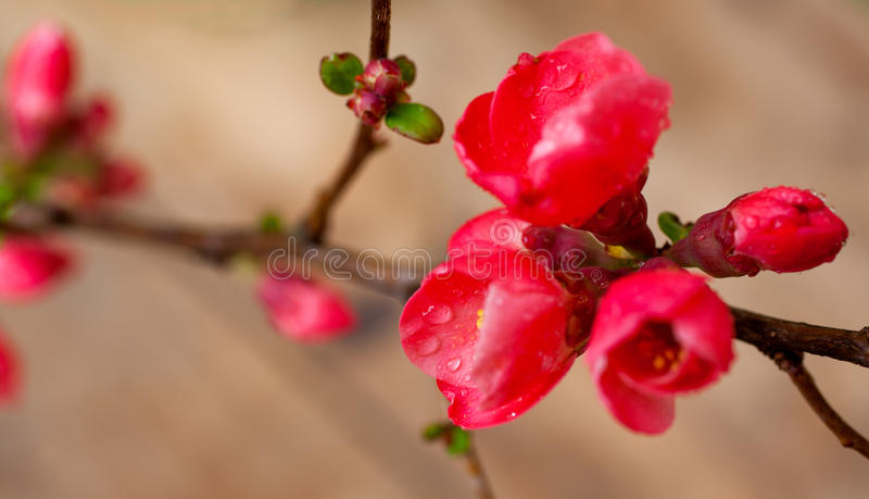 Japanese Quince Flowers stock photo