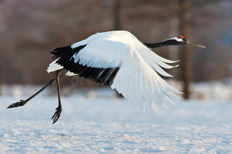 Japanese Red-Crowned Crane royalty free stock images