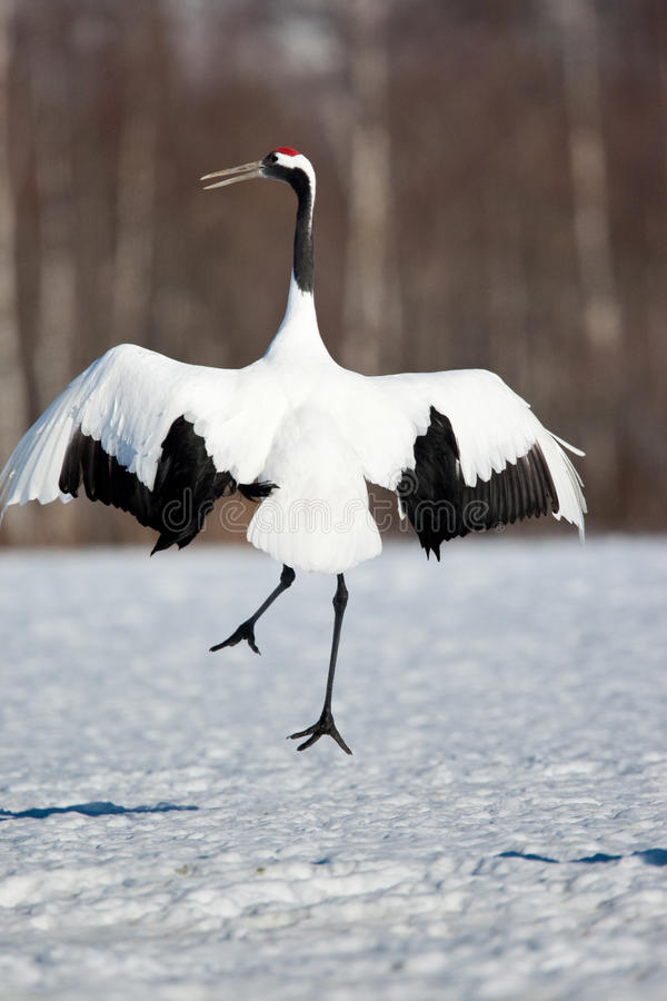 Free Japanese Red-Crowned Crane Royalty Free Stock Images - 13441319