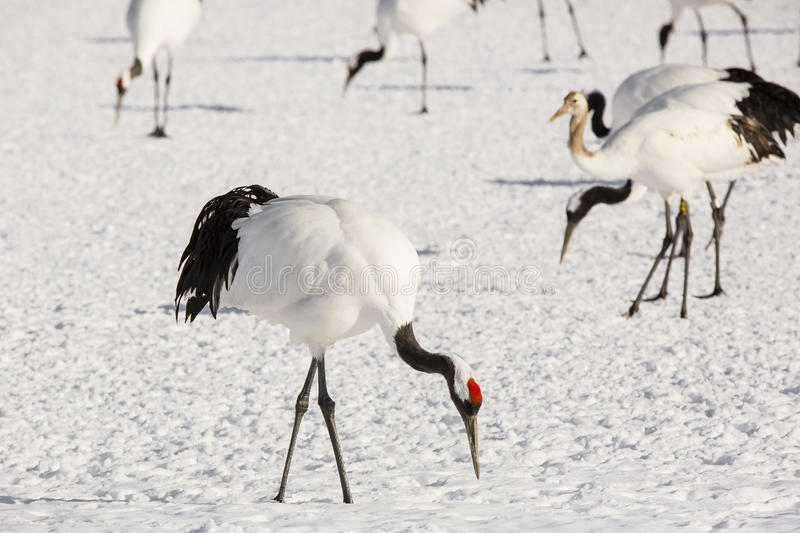 Japanese Red-Crowned Crane Foraging. An endangered species of crane, this beautiful, large white and black bird with red cap on its head foraging for food in the royalty free stock photography