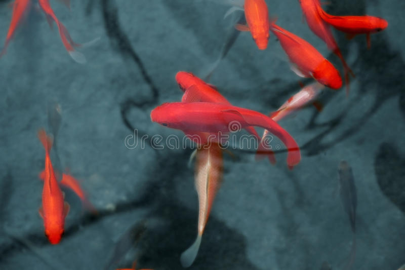 Japanese red fish stock photos
