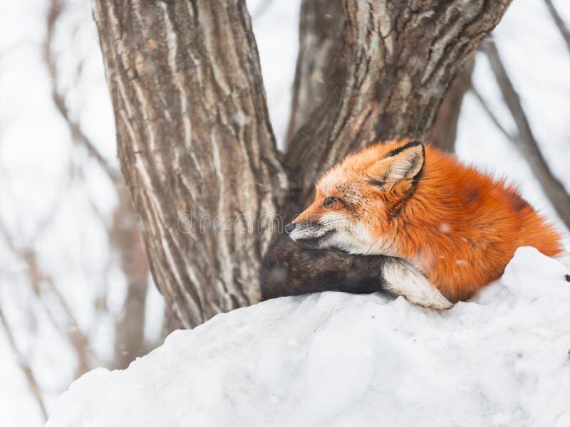 Japanese Red fox in snow winter, Miyagi, Sendai, Japan. royalty free stock image