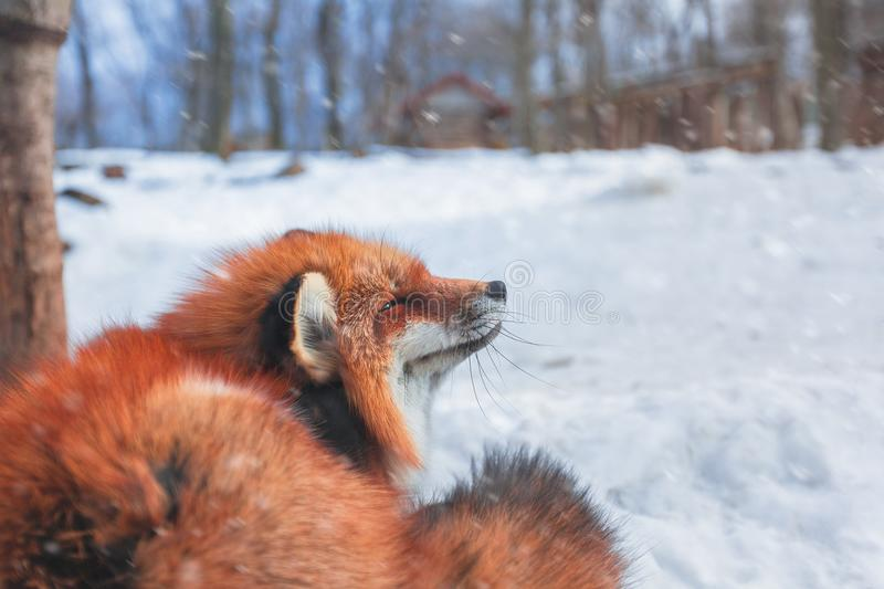 Red fox in snow stock photography
