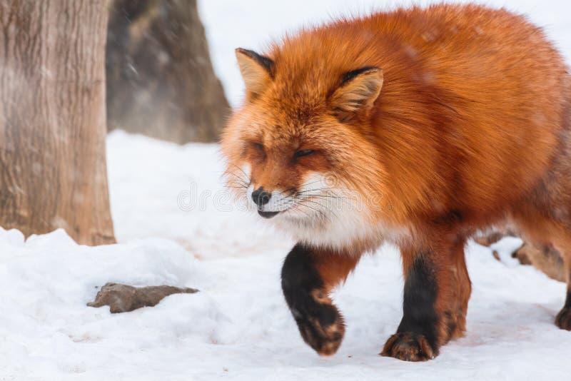 Japanese Red fox in snow winter, Miyagi, Sendai, Japan. stock photos