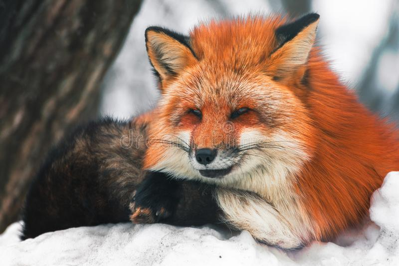 Japanese Red fox in snow winter, Miyagi, Sendai, Japan. stock photo