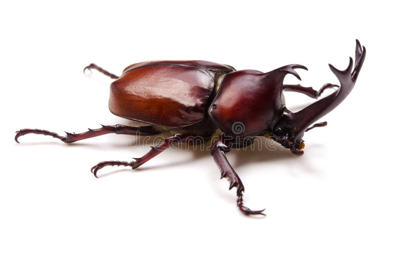 Download Japanese rhinoceros beetle stock photo. Image of wildness - 26476536