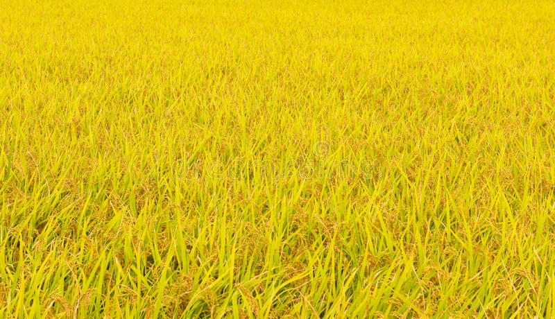 Japanese rice field in fall royalty free stock photos