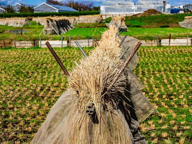 Japanese rice stalk bundles in a field stock image