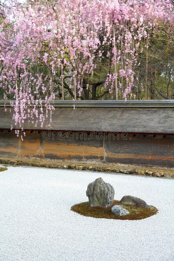 Japanese rock garden. And cherry blossoms in Kyoto. Zen garden of Ryoanji temple stock photography