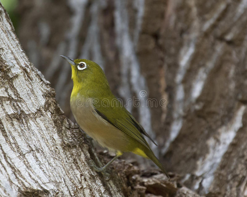 Japanese Round-eye. A Japanese Round-eye (aka Mejiro = Zosterops japonicus) looking for insects among bark crevices. This bird is considered an Invasive Species royalty free stock image