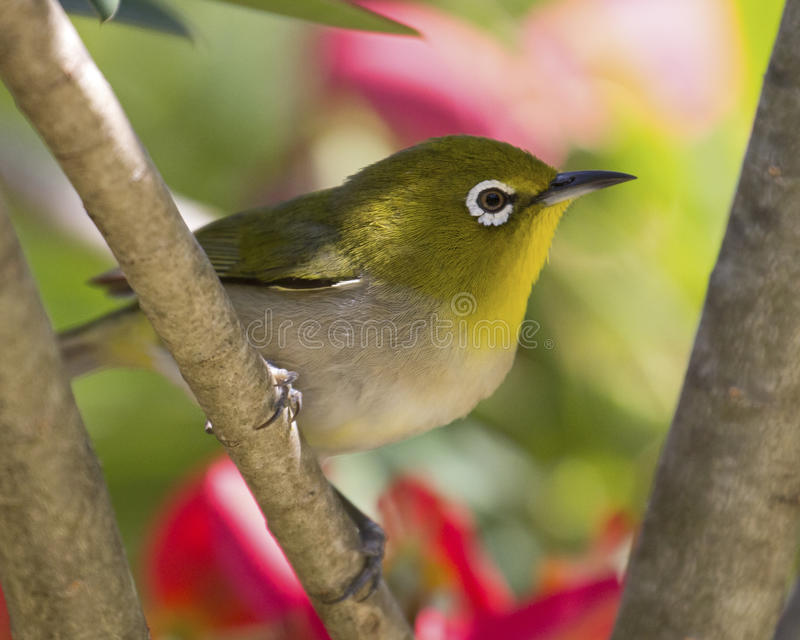 Japanese Round-eye. The Japanese Round-eye (Zosterops japonicus aka Mejiro) is a tiny pest bird with a huge appetitie for orchard fruit royalty free stock images