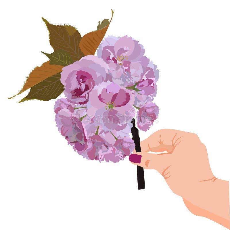 Japanese sakura blossom branch in hand vector isolated illustration royalty free stock photos