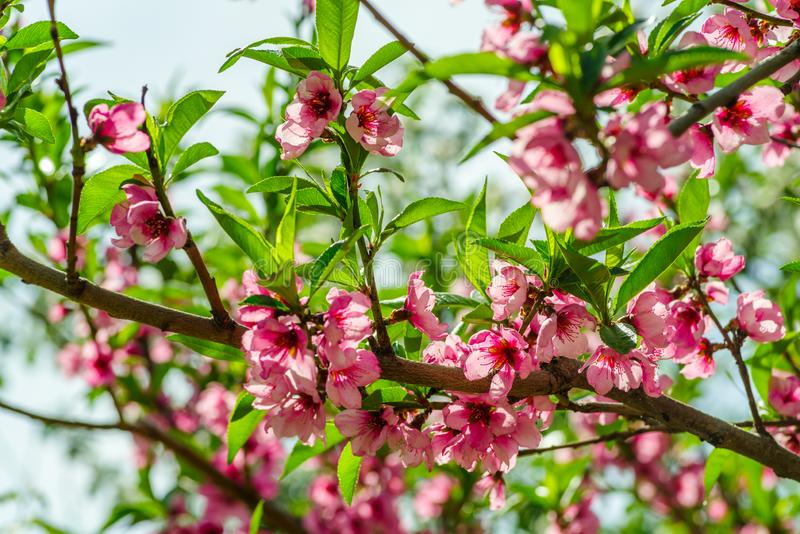 Japanese flowers of apple on the branches in spring stock photography