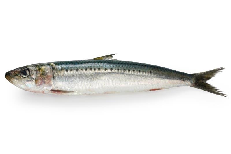 Japanese sardine, japanese pilchard. On white background stock photography