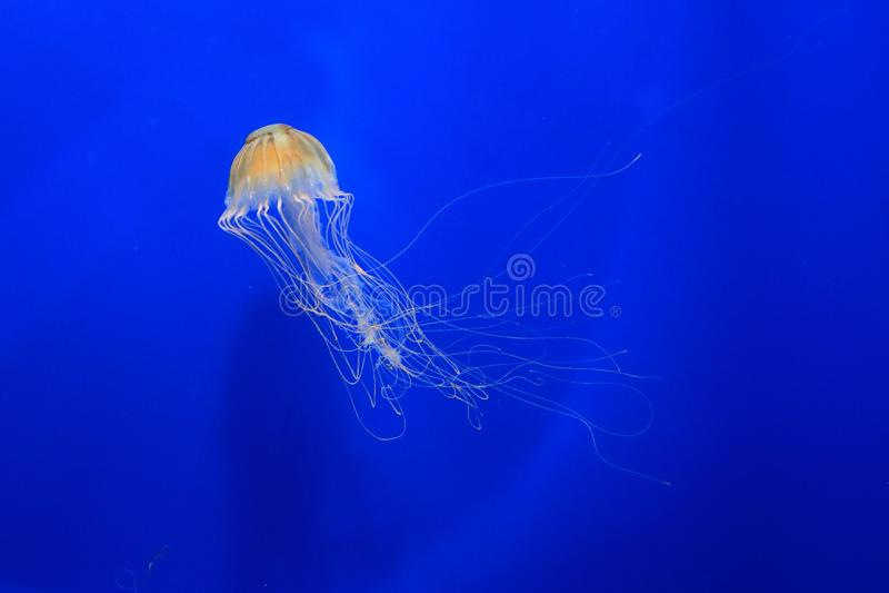 Japanese sea nettle stock images