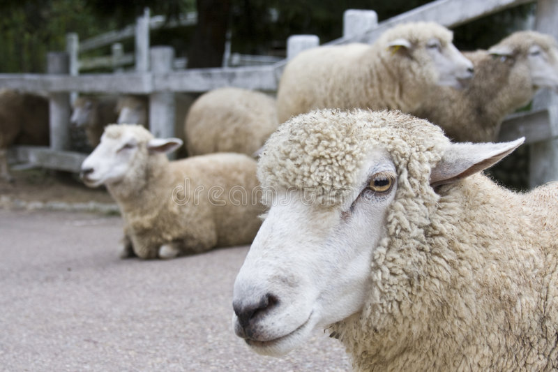 Download Japanese sheep stock image. Image of resting, family, standing - 6739597
