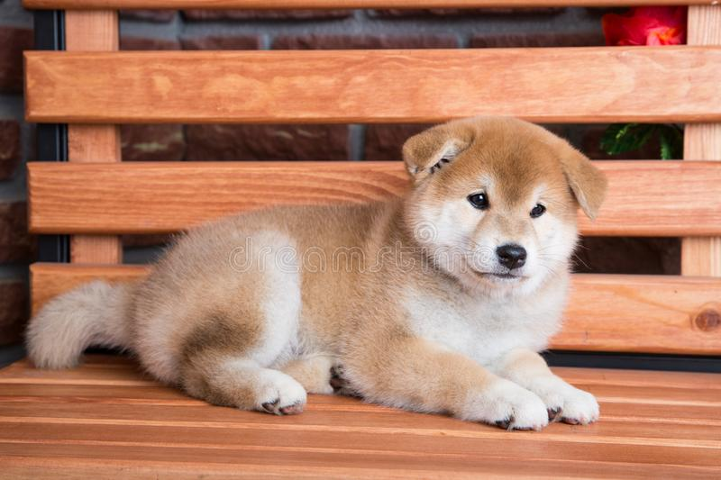 Japanese Shiba inu puppy resting on a bench royalty free stock photos
