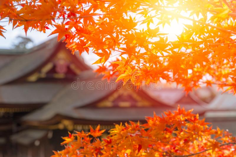 Japanese shrine blur background with Autumn maple tree stock photos