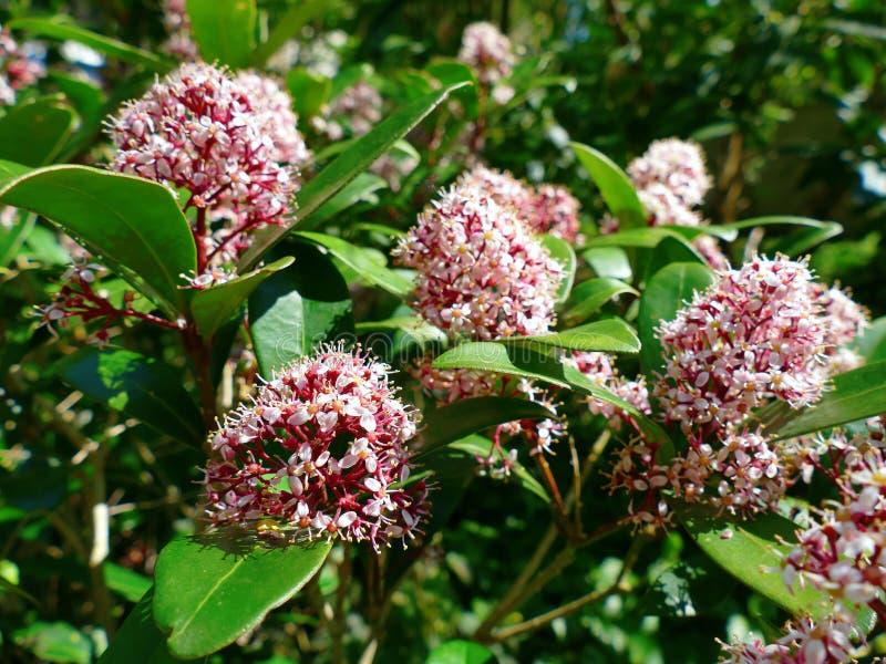 Japanese Skimmia, Skimmia japonica rubella blooming. In garden stock photo