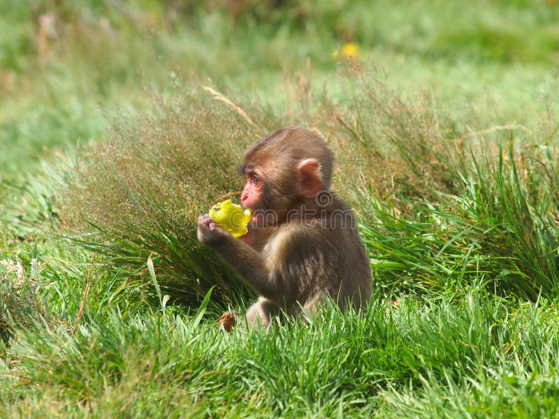 Japanese Snow Monkey stock image
