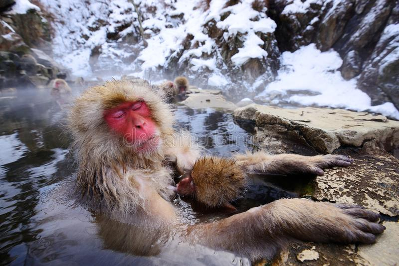 Japanese Snow Monkey. A Japanese Macaque relaxes in the hot spring protecting its young royalty free stock image