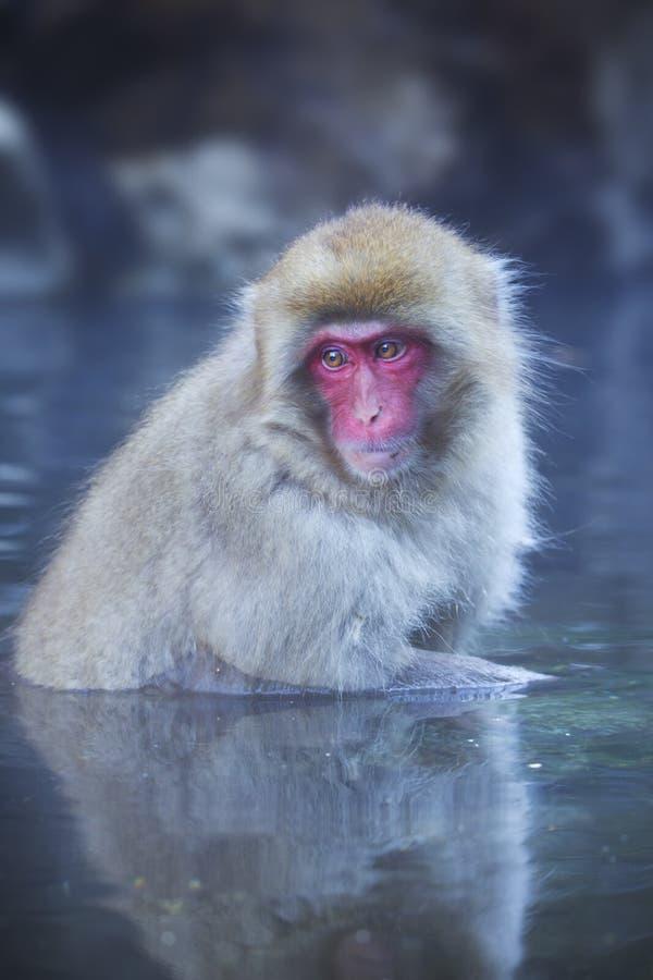 Free Japanese Snow Monkey Bathing In Hot Spring Stock Image - 67514651